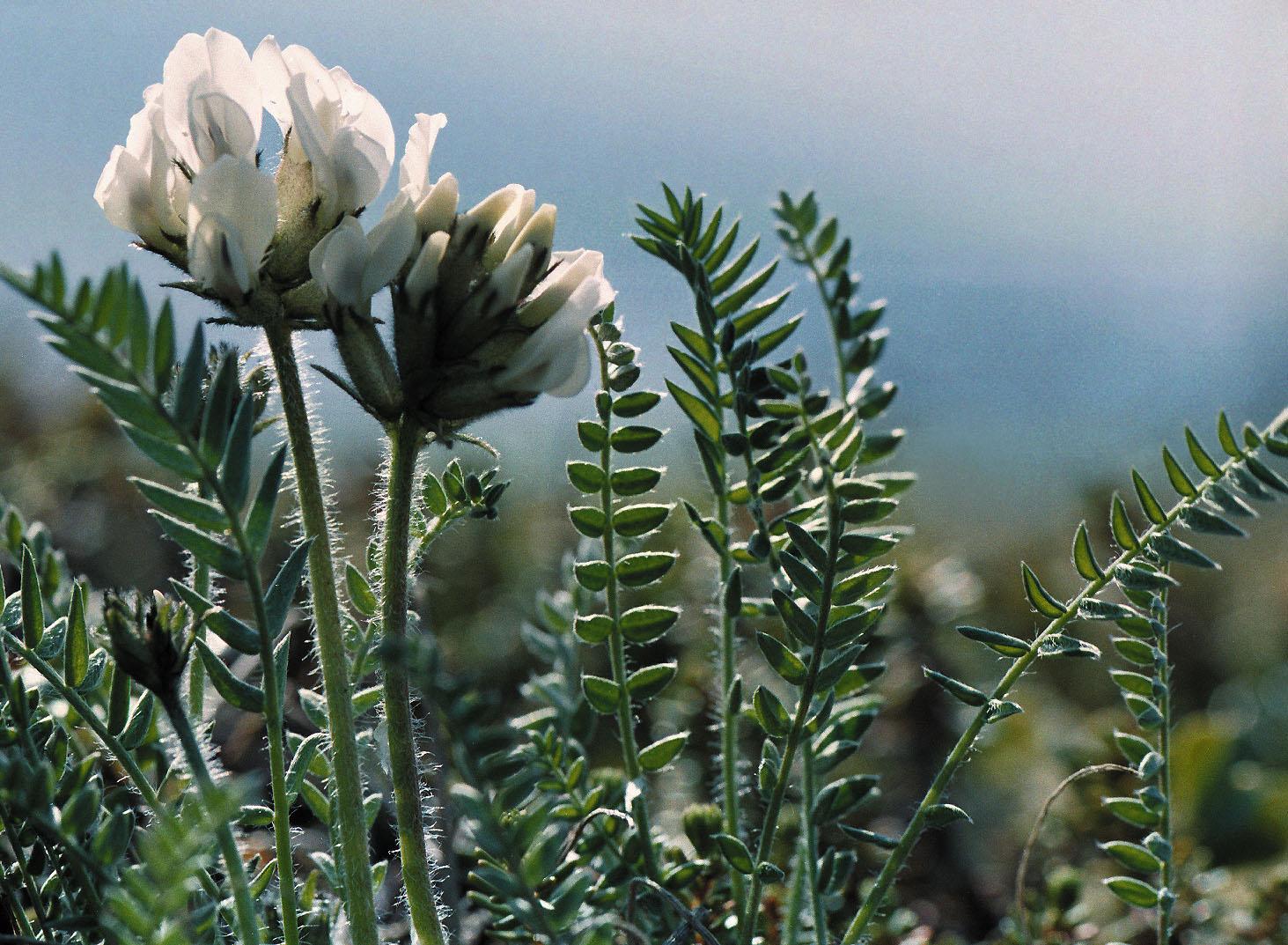Растение остролодочник хакаский фото 7